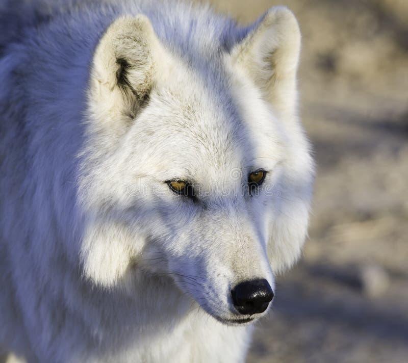 blanco lobo obrazy royalty free