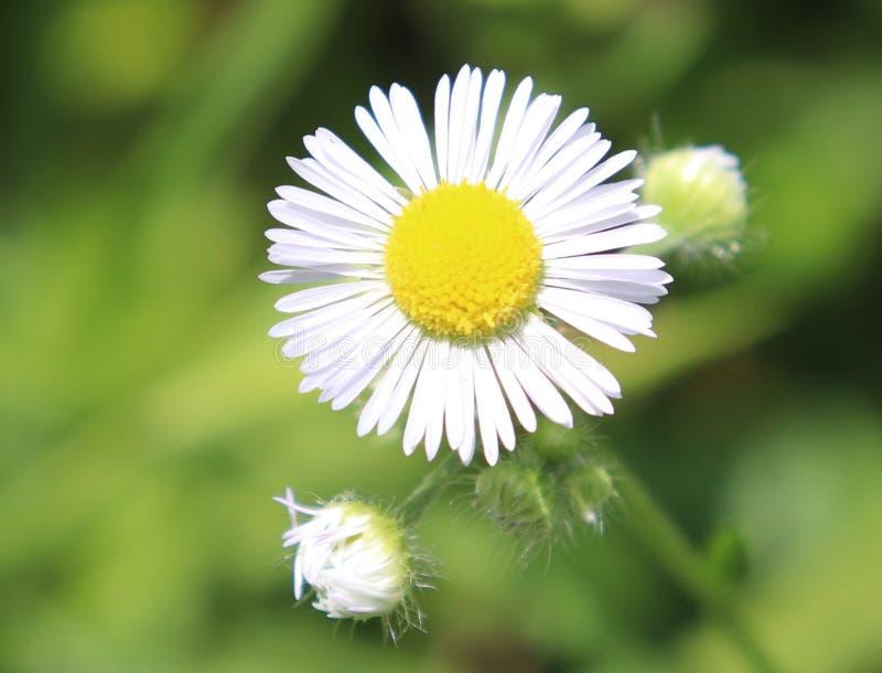Blanco, margarita, flor, fondo exterior, borroso imagen de archivo libre de regalías