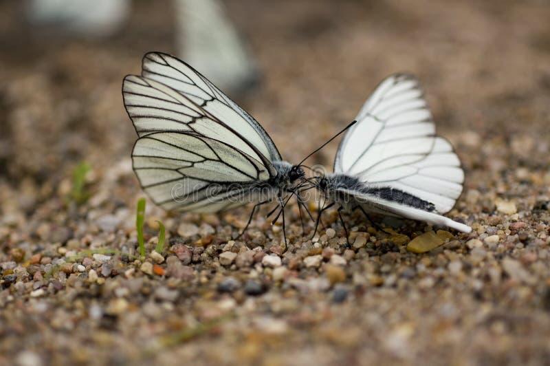 Blanco Negro-veteado mariposa (Aporia Crataegi) fotos de archivo