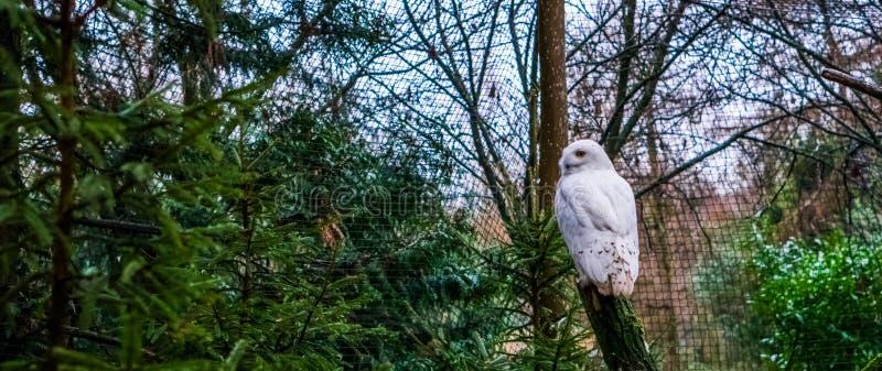 Blanco nevado búho que se sienta en una rama y que da vuelta a su cabeza imagenes de archivo