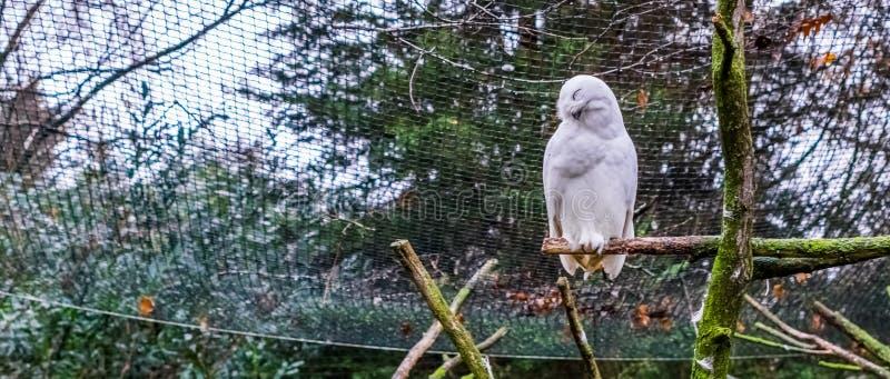 Blanco nevado búho que se sienta en una rama y que hace un feliz imagenes de archivo