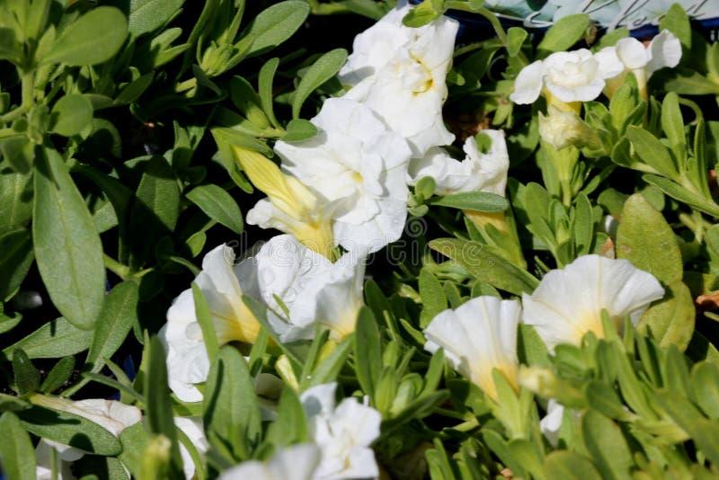 ` Blanco puro de Minifamous del ` de Calibrachoa, mini petunia imágenes de archivo libres de regalías