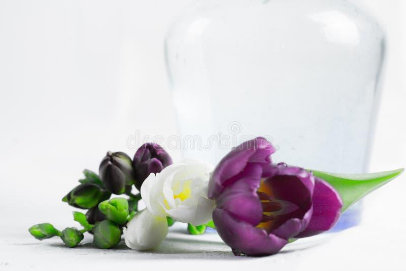 Blanco que una púrpura freesien fotografía de archivo