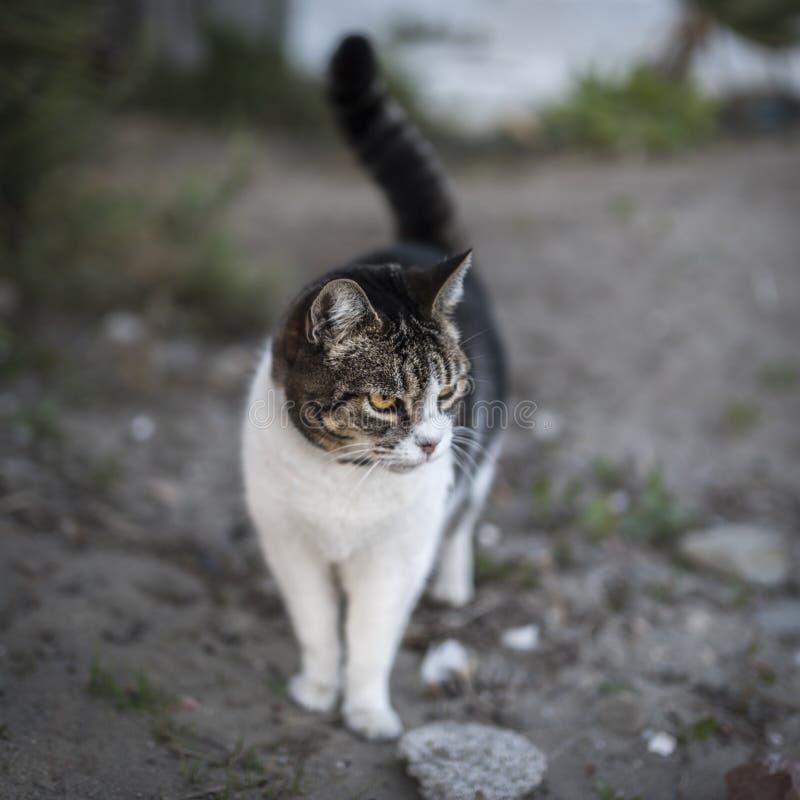 Blanco y Grey Cat Standing en Grey Sand durante d3ia foto de archivo libre de regalías