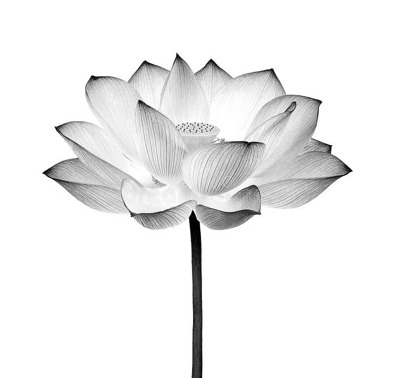 Blanco y negro de la flor de Lotus aislado en el fondo blanco fotografía de archivo libre de regalías