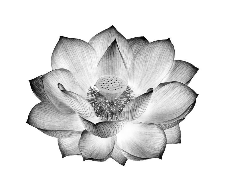 Blanco y negro de la flor de Lotus aislado en el fondo blanco imagen de archivo