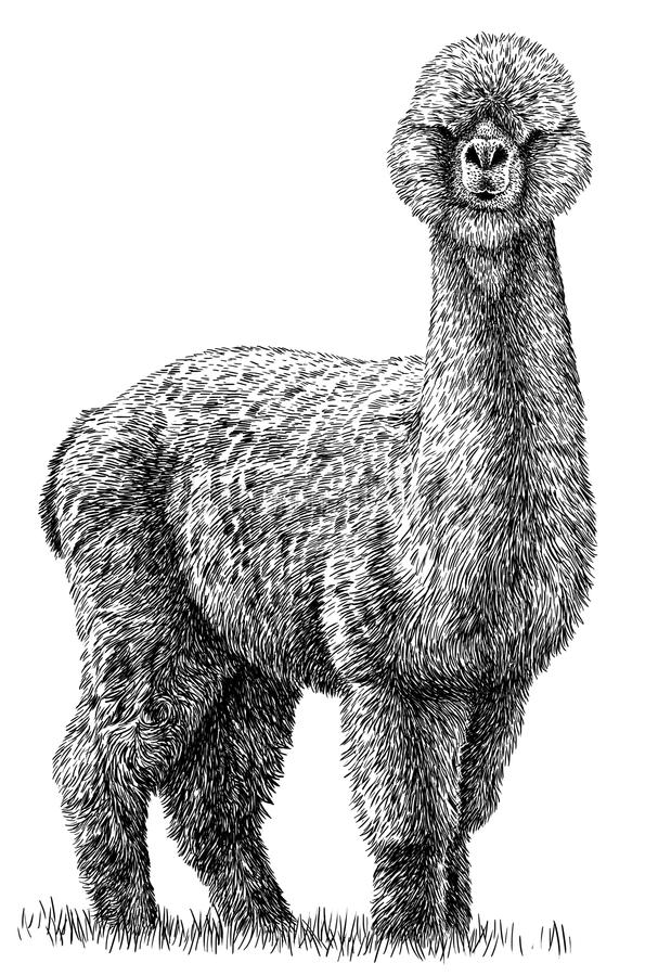 Blanco y negro grabe el ejemplo aislado del lama ilustración del vector