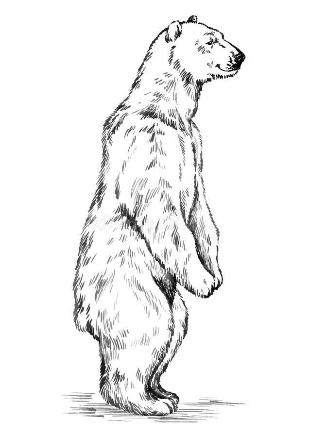 Blanco y negro grabe el oso aislado del vector ilustración del vector