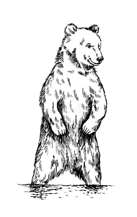 Blanco y negro grabe el oso aislado del vector stock de ilustración