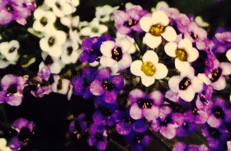 Blanco y púrpura imagenes de archivo