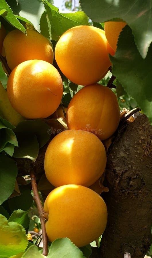 Bland aprikons royaltyfri fotografi