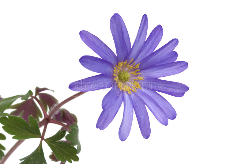 Blanda blu del anemone del fiore fotografia stock libera da diritti