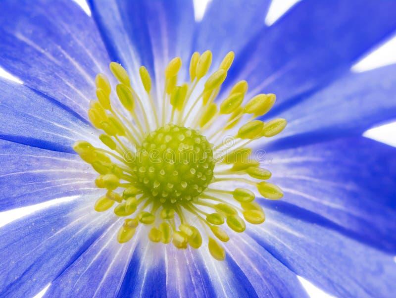 Blanda blu dell'anemone del windflower di inverno fotografia stock