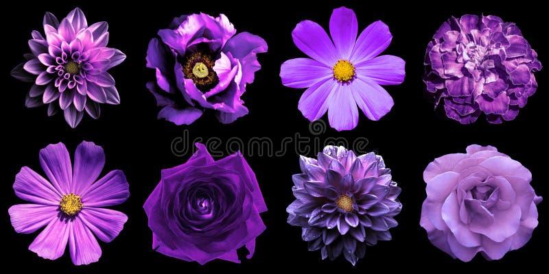 Blanda collage av naturliga och overkliga violetblommor 8 i 1: isolerade pion, dahlior, rosor, perenn aster och primulor arkivfoto