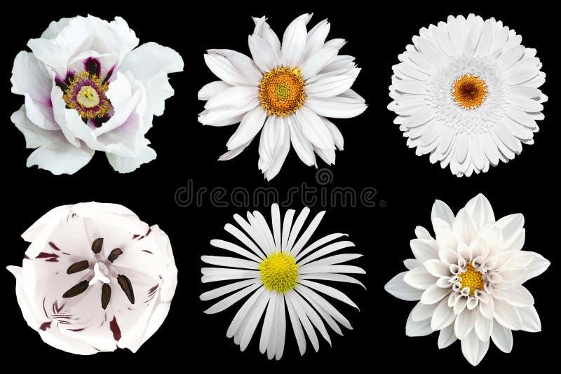 Blanda isolerad collage av vita blommor 6 i 1 royaltyfria bilder