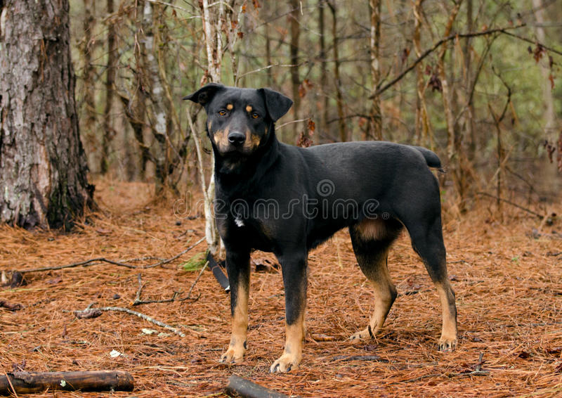 Blandad avel för Manchester Terrier miniatyrPinscherKelpie royaltyfria foton