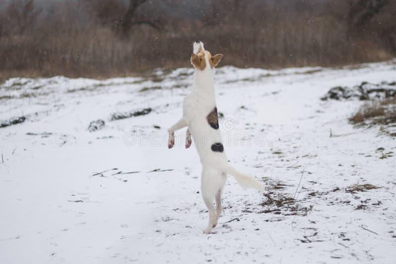 Blandad-avel hunddans på det bakre benet som tycker om med första snö royaltyfri foto