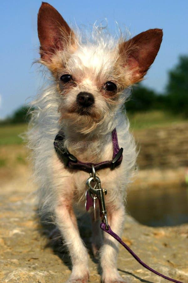 blandad avelhund arkivbild