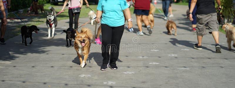 Blandad avelhund för brun färg som lyckligt går bredvid hans ägare amo arkivbild
