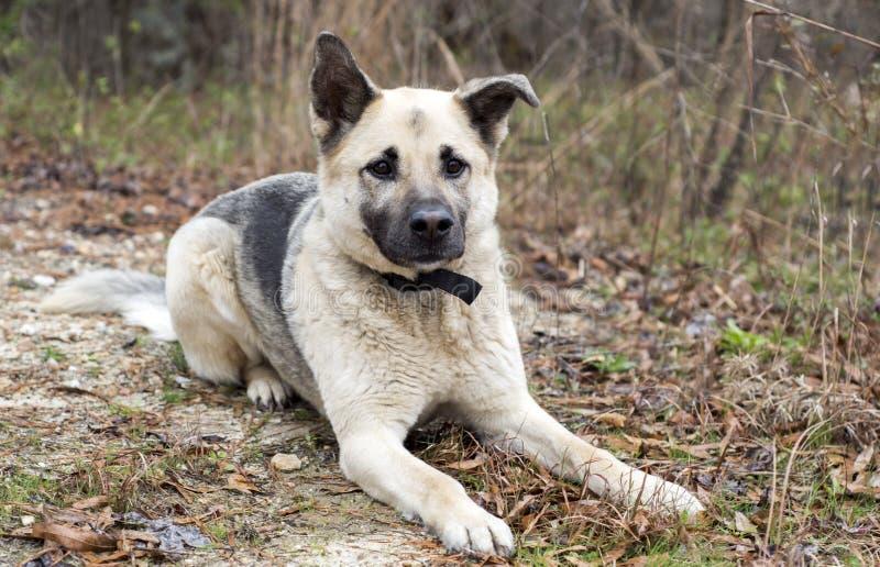 Blandad avelhund för tysk herde som ner lägger fotografering för bildbyråer