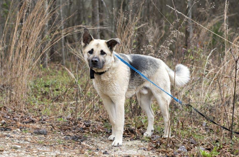 Blandad avelhund för tysk herde utanför på koppeln fotografering för bildbyråer