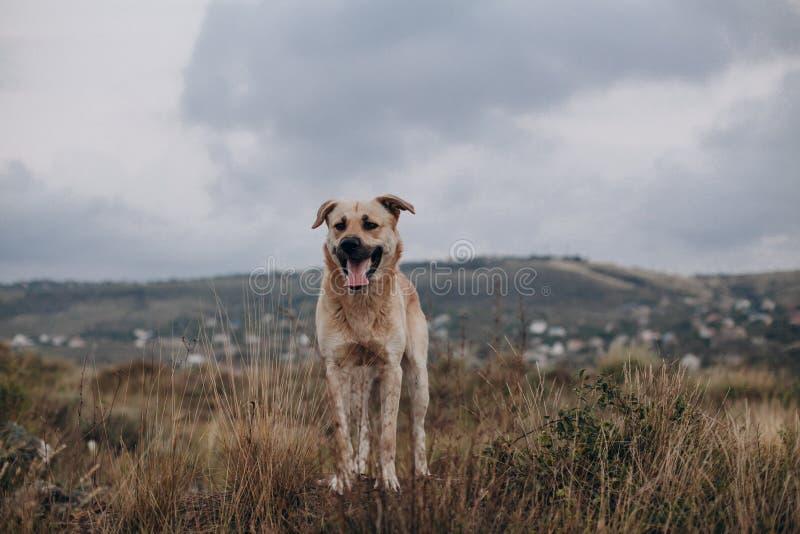 Blandad avelhund som går på fältet royaltyfria foton