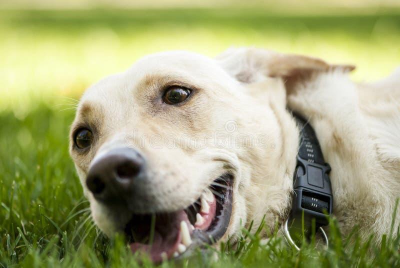 Blandad avelhund som ligger på gräset arkivbilder