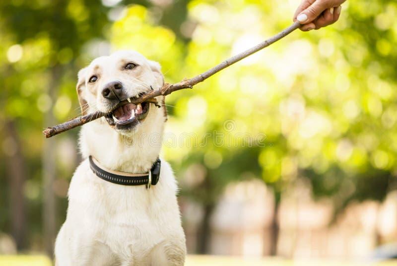 Blandad avelhund som tuggar en pinne royaltyfri bild