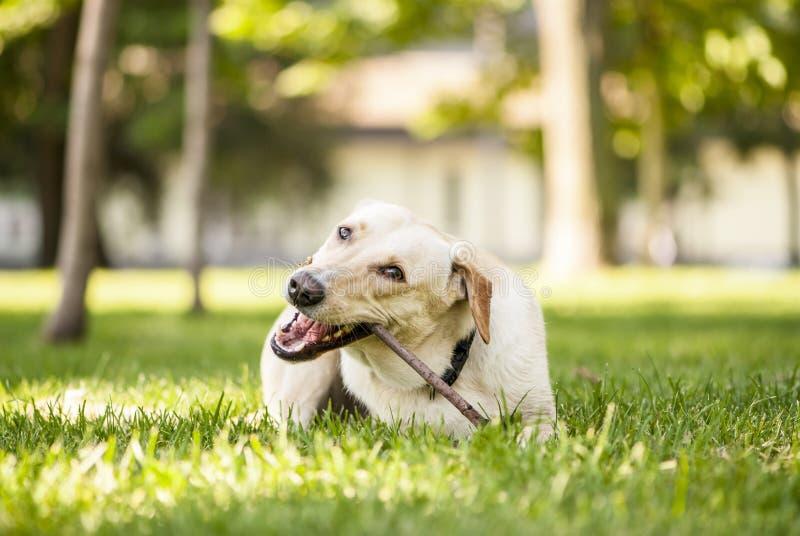 Blandad avelhund som tuggar en pinne arkivbild