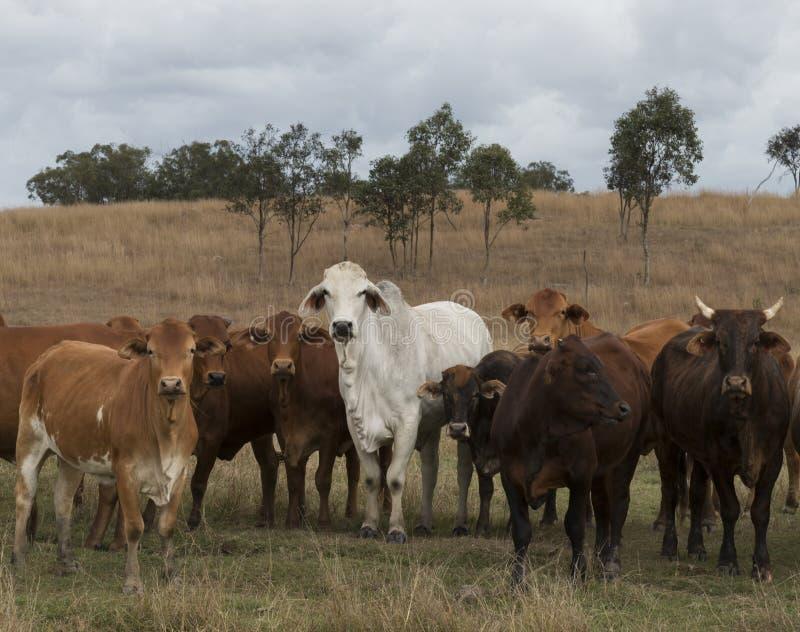 Blandad flock av australiskt nötkreatur som fritt strövar omkring i Queensland Australien royaltyfri fotografi