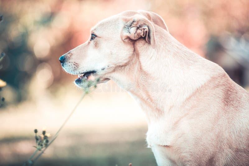 Blandad hund för avellabrador räddningsaktion i höstträdgård arkivfoton