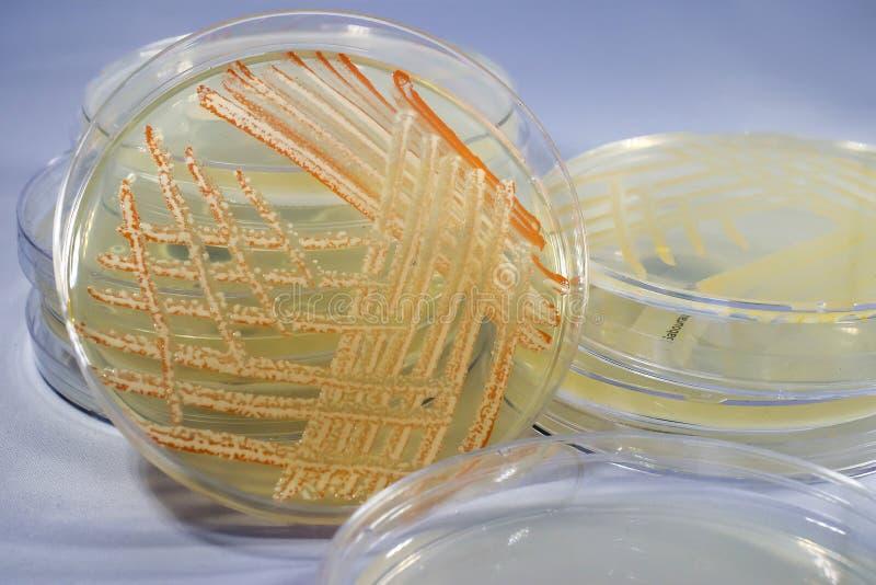 Blandad kultur av bakterier som är fullvuxna på den Petri maträtten arkivfoto