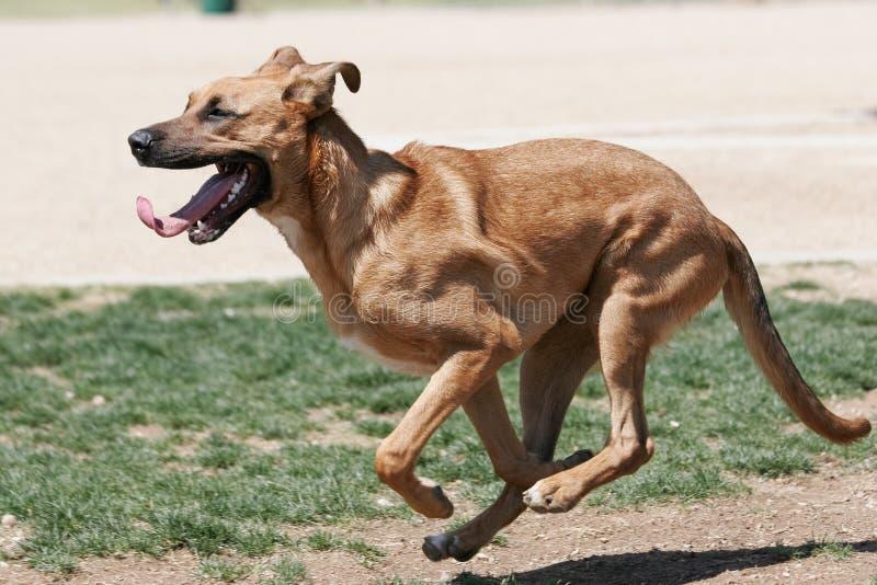 Blandad spring för avelbrunthund på parkera royaltyfria foton