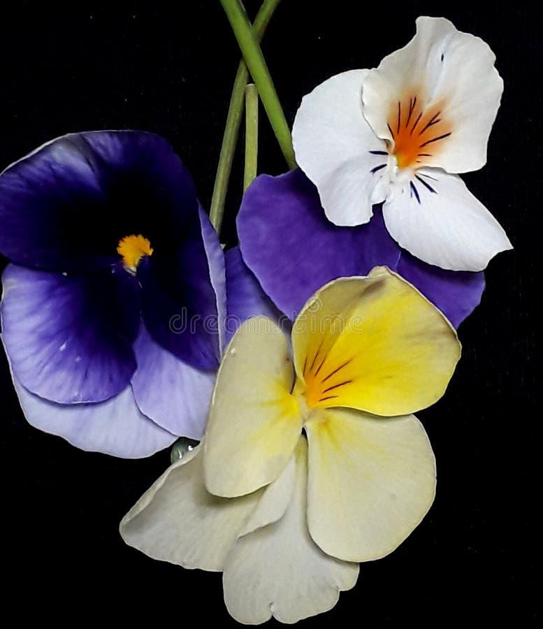 Blandade violetblommor royaltyfria foton