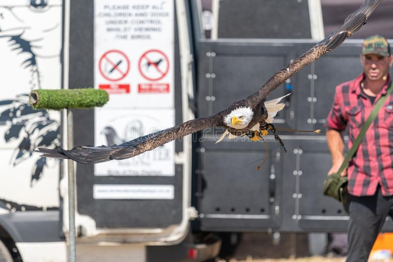 Bald eagle haliaeetus leucocephalus stock photography