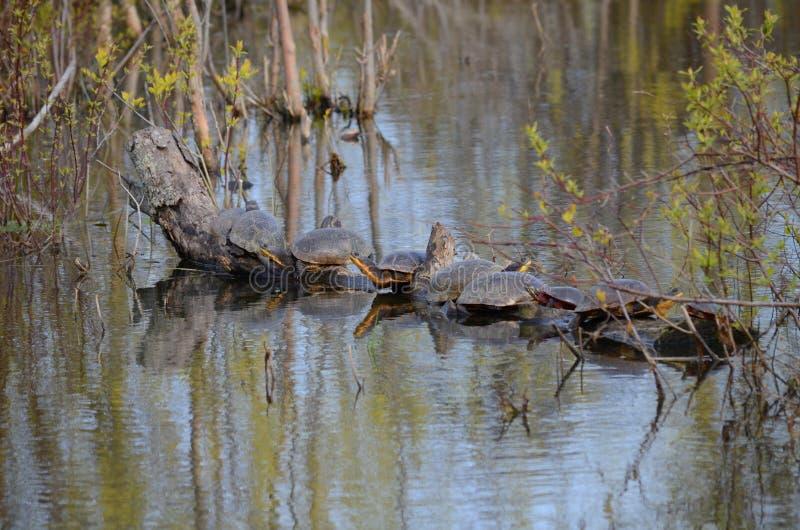 Blanding ` s乌龟,在沼泽的濒于灭绝的物种 库存图片