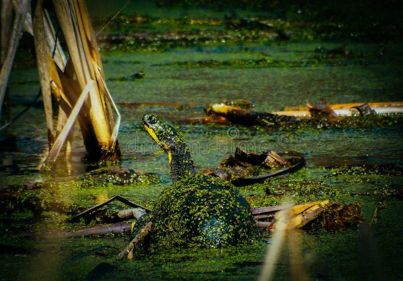 Blanding ` s żółw w stawie z algami zdjęcie royalty free