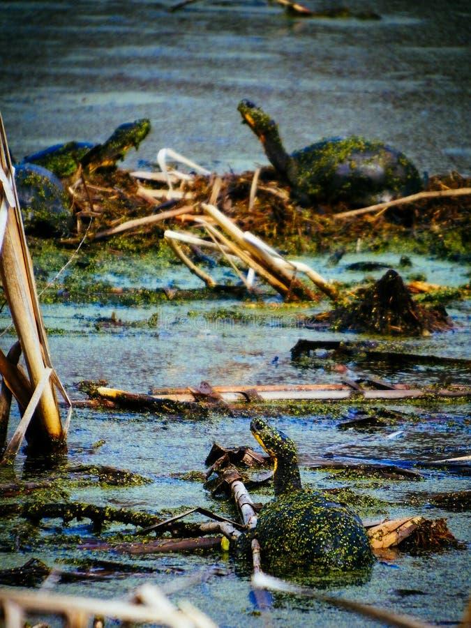 Blanding ` s żółwie w stawie z algami zdjęcia royalty free