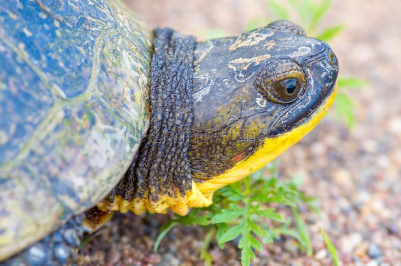 Blanding`s Turtle portrait on a gravel rural road in the Crex Meadows Wildlife Area in Northern Wisconsin.  stock images