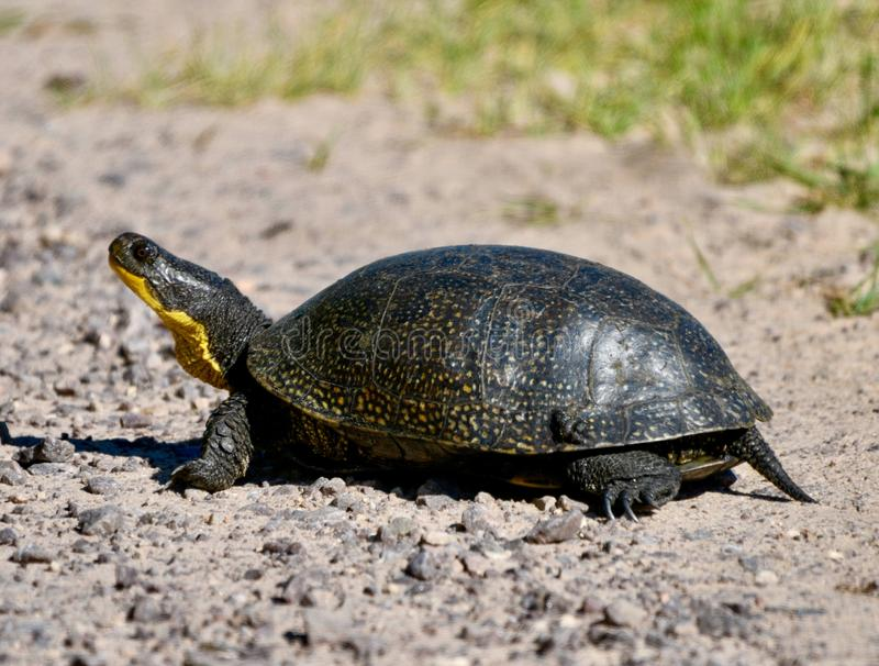 A Blanding's Turtle. This is a Summer picture of a Blanding's Turtle in the Necedah National Wildlife Refuge located in Necedah, Wisconsin in royalty free stock photo