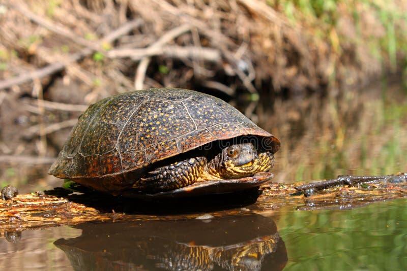 Blandings Schildkröte, die auf Protokoll sich aalt stockbilder