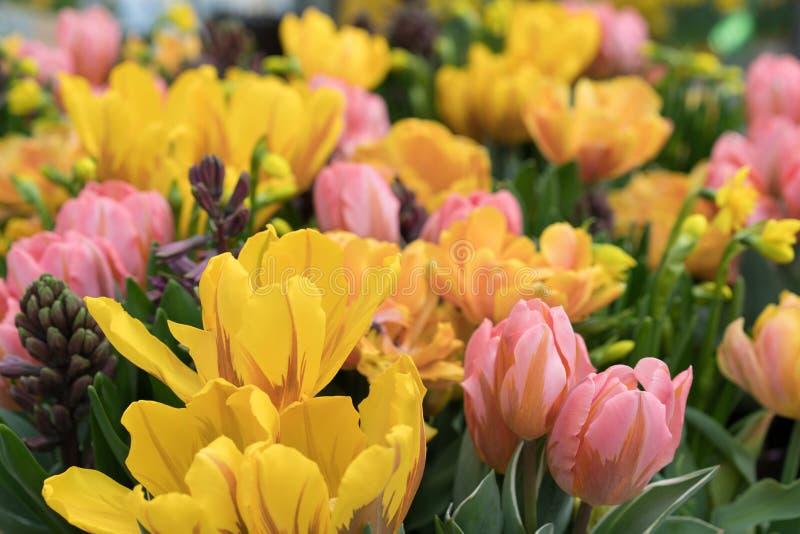 Blandning av knoppar och blommor av rosa och gula tulpan arkivbilder