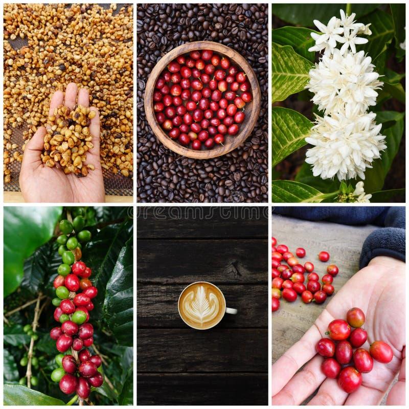 Blandning av trädet för kaffeböna och kaffemed koppen kaffe fotografering för bildbyråer