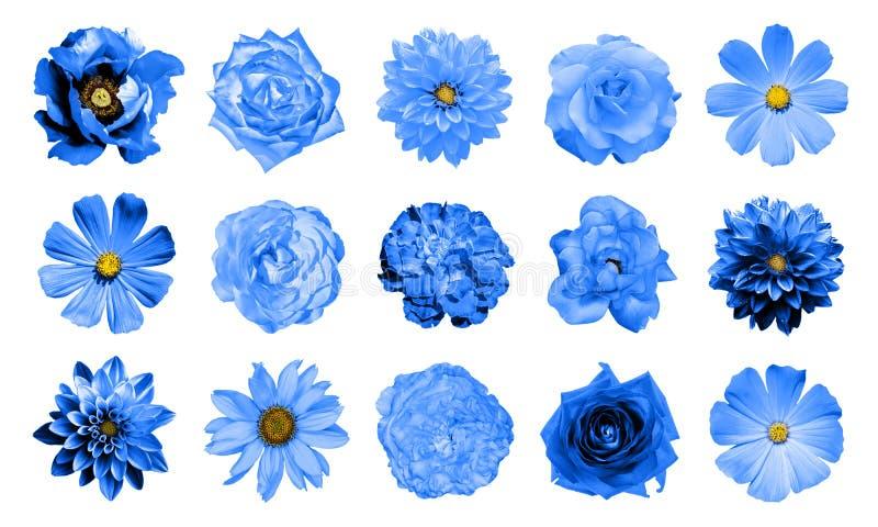 Blandningcollage av naturliga och overkliga blåa blommor 15 i 1: dahlior primulor, perenn aster, tusenskönablomma, rosor, isolera royaltyfria foton