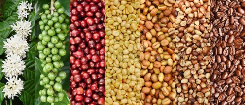Blandningen av kaffebönor och kaffeträdet blomstrar royaltyfri bild