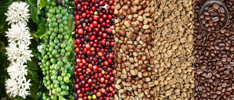 Blandningen av kaffebönor och kaffeträdet blomstrar arkivbilder
