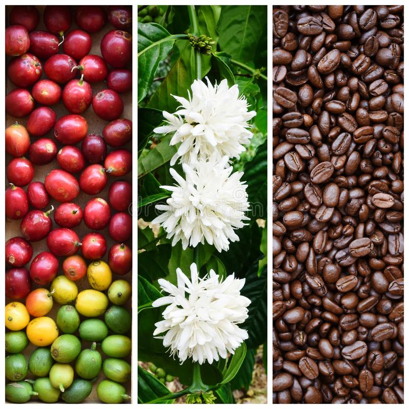 Blandningen av trädet för kaffebönan och kaffeblommar med den nya kaffebönan arkivfoton