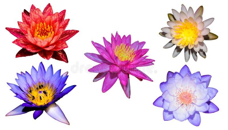 Blandningnäckros- och lotusblommaisolat royaltyfri foto