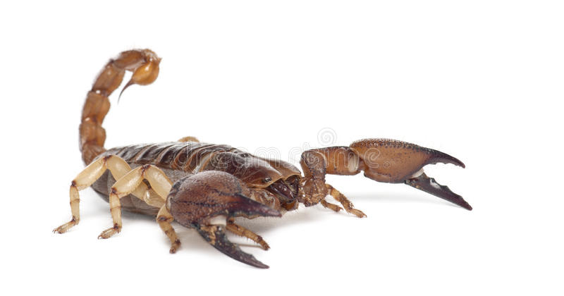 Blank gräva Scorpion royaltyfri fotografi