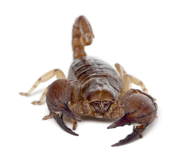 Blank gräva Scorpion royaltyfri foto